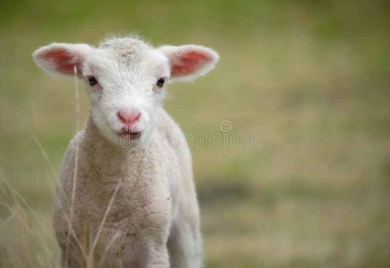 Download Young Baby Lamb Stock Image Of Animal Infant