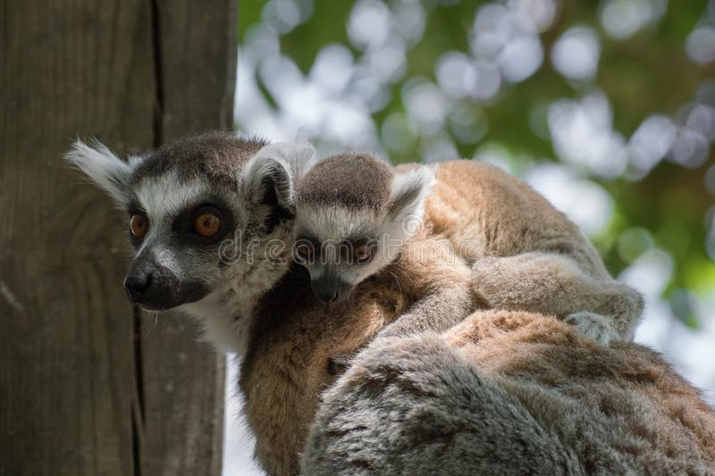 Young baby of ring tailed lemur with mother. In madagascar royalty free stock photos