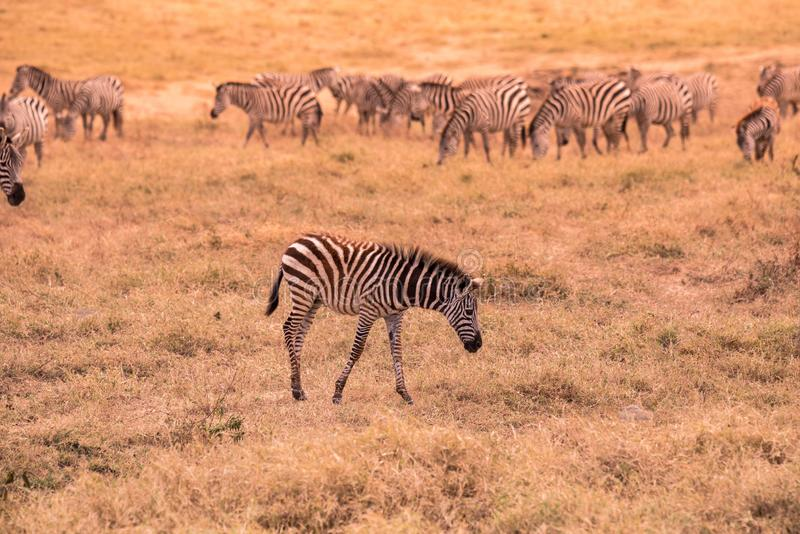 Young baby zebra with pattern of black and white stripes. Wildlife scene from nature in savannah, Africa. Safari in National Park. Of Tanzania stock photos
