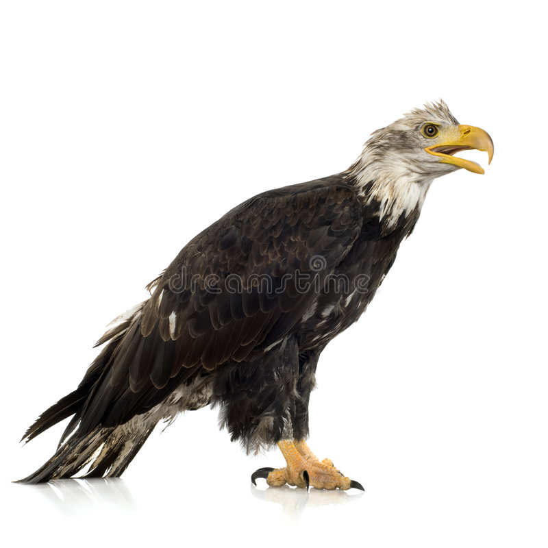Young Bald Eagle (5 Years) - Haliaeetus Leucocepha Royalty Free Stock Photos