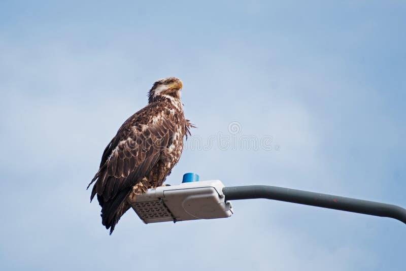 Young Bald Eagle Sand Point Alaska royalty free stock photography