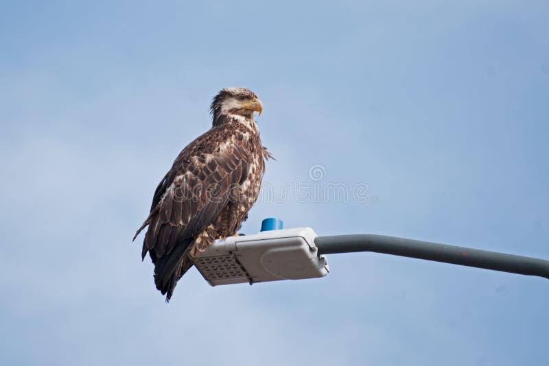 Young Bald Eagle Sand Point Alaska stock images