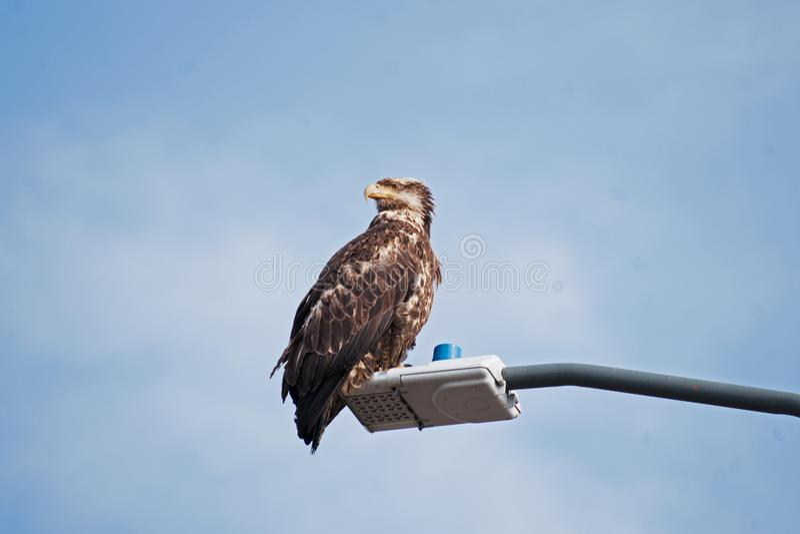 Young Bald Eagle Sand Point Alaska stock photography
