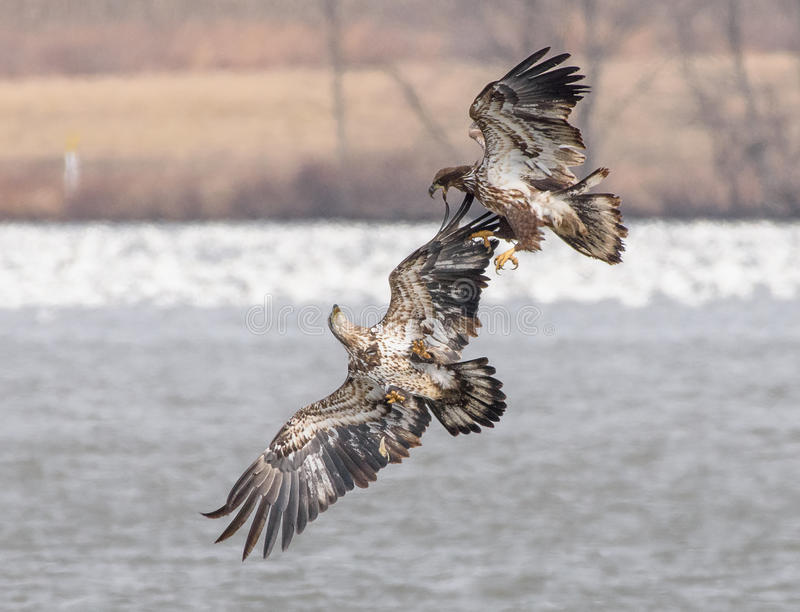 Young Bald Eagles royalty free stock photo