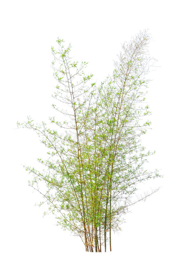 Download Young Bamboo Tree Royalty Free Stock Photo - Image: 30214865