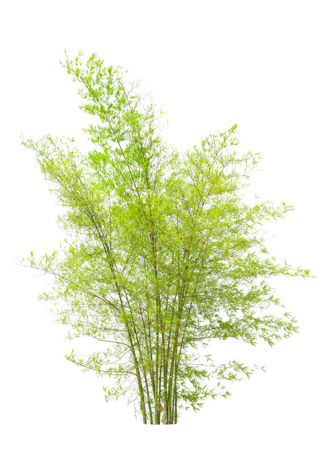 Download Young bamboo tree stock image. Image of growth, isolated - 30214899