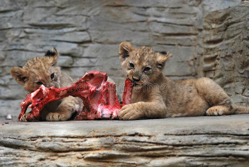 Young Barbary lions royalty free stock photos