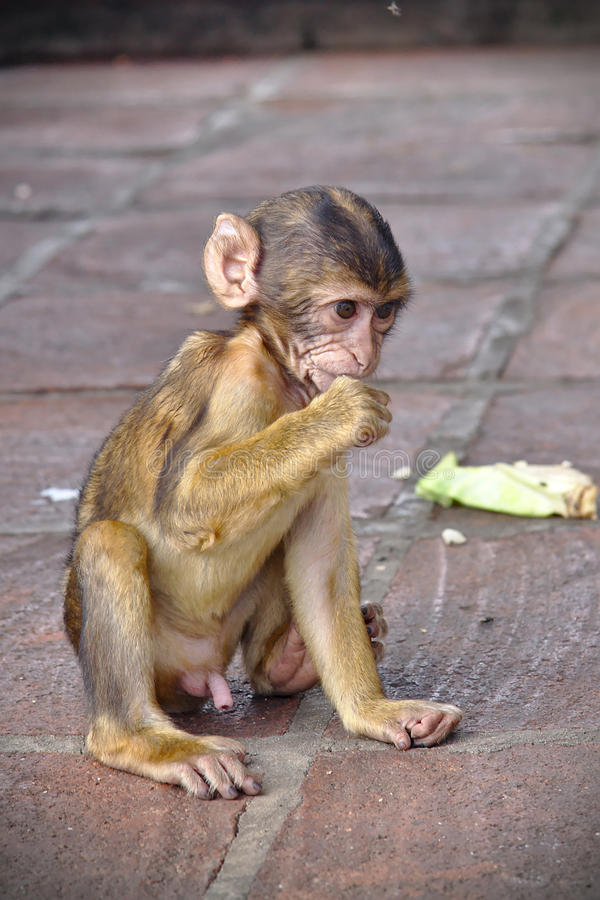 Young Barbary macaque stock photo