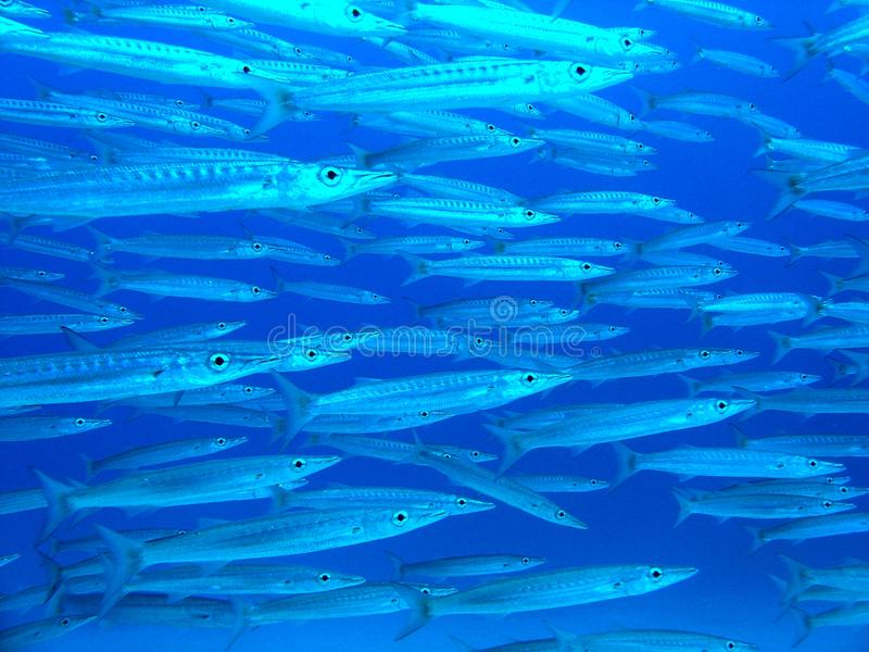 Download Young Barracudas Royalty Free Stock Image - Image: 11504476