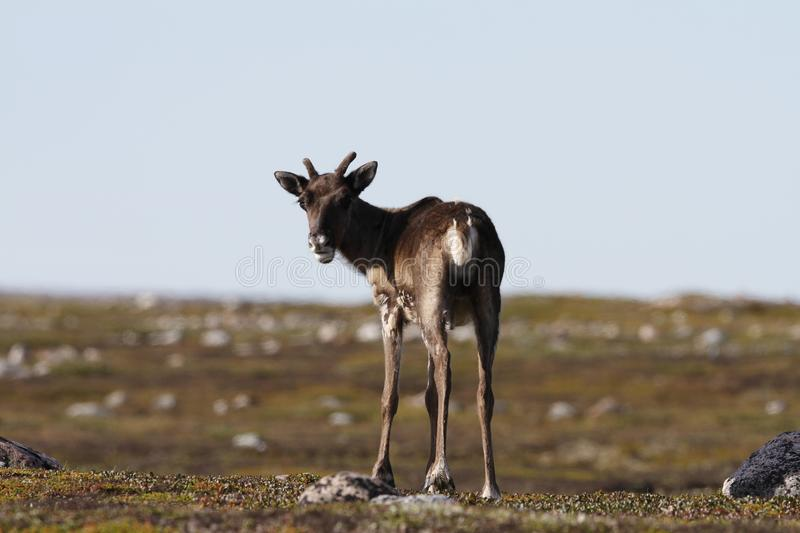 Young barren-ground caribou standing on the green tundra in August. Young barren-ground caribou, rangifer tarandus groenlandicus, standing on the green tundra in stock photos