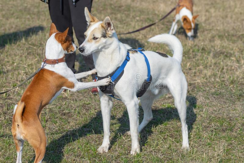 Basenji dog jump near mixed-breed bigger dog. Young basenji dog jump near mixed-breed bigger dog stock image