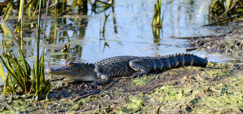 Young basking swamp Alligator , Savannah National Wildlife Refuge royalty free stock photo