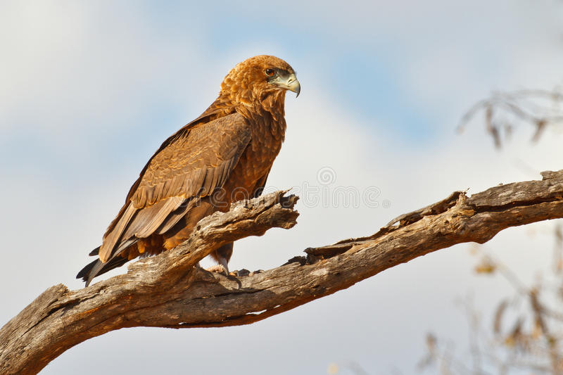 Young bateleur eagle royalty free stock photos