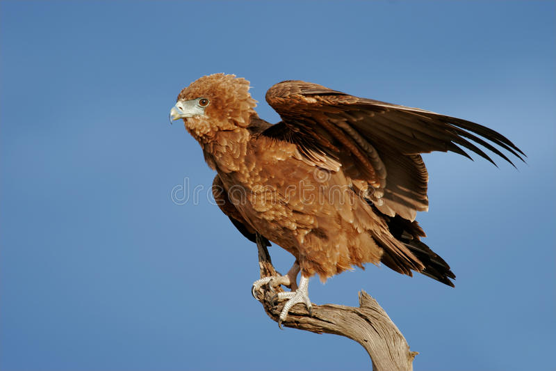 Young bateleur eagle stock photography