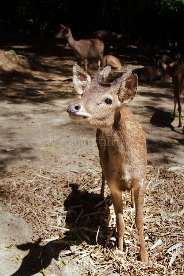 A Young Bawean Deer Waiting for Food. A young critically endangered Bawean Deer Hyelaphus kuhlii or Axis kuhlii eagerly waiting to be fed by visitors of stock photos