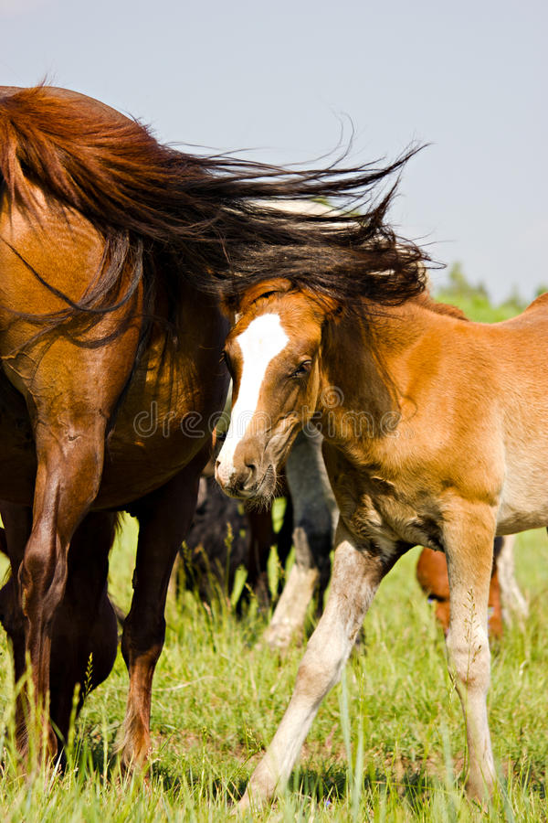 Download The Young Bay Horse Near His Mother Stock Photo - Image: 25484632