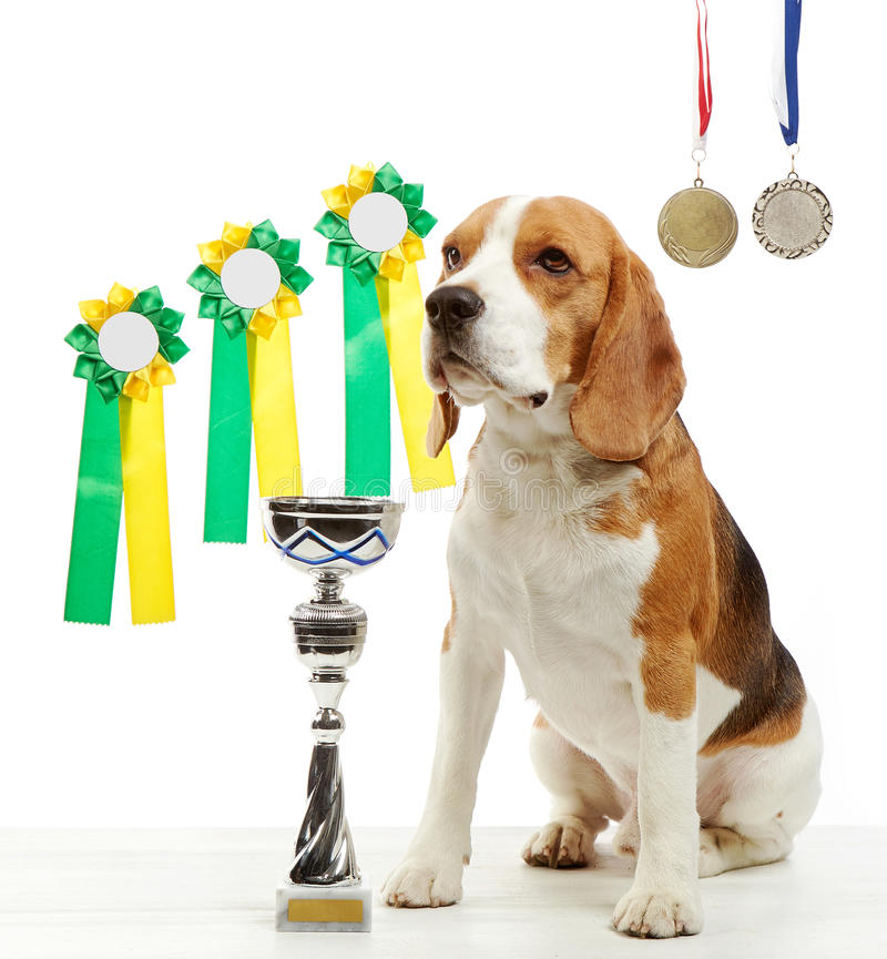 Young beagle dog with medals and champion cup. On a white background stock photo