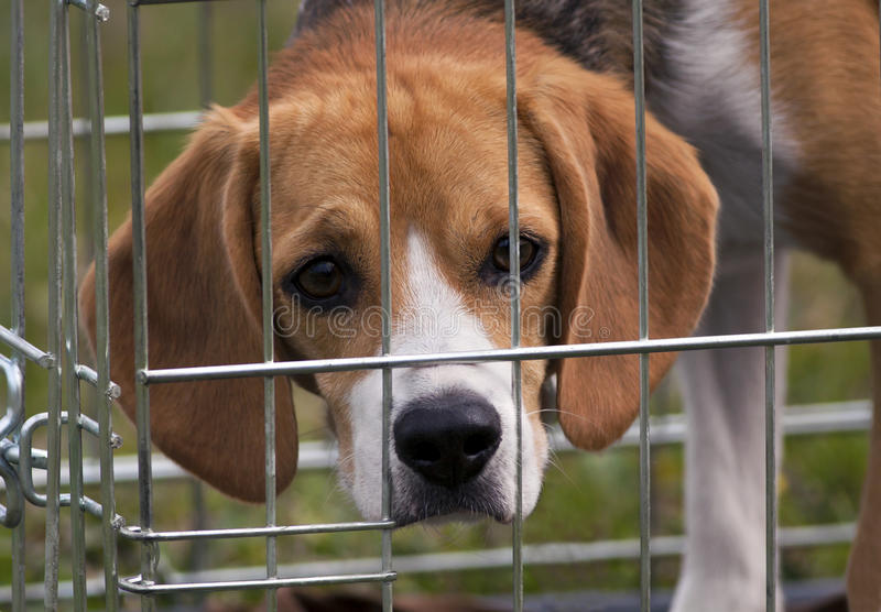 Young Beagle Looking Stock Photography