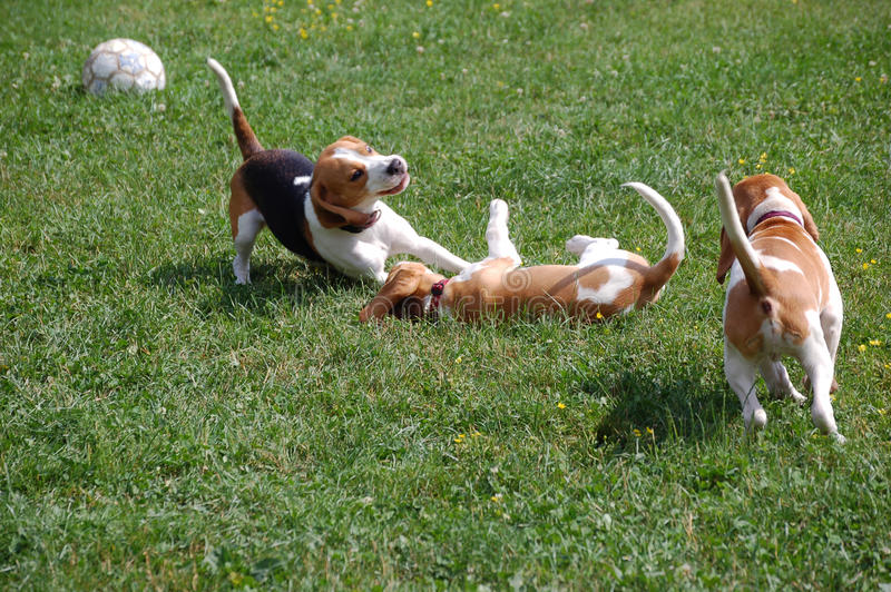 Young beagles playing. Three young beagles play on the grass stock photography