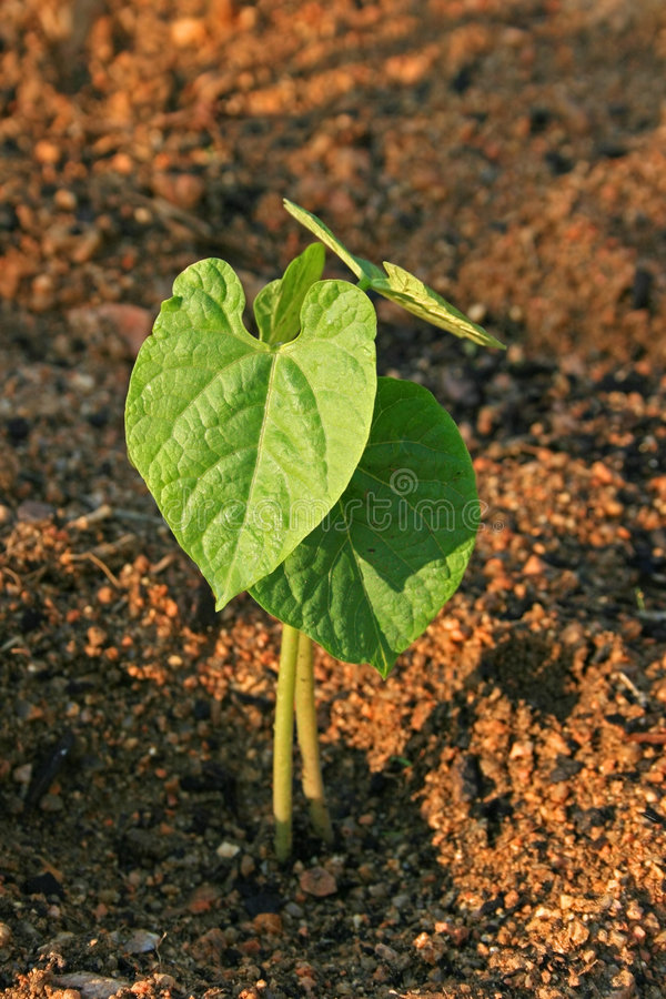 Young bean plant royalty free stock photos