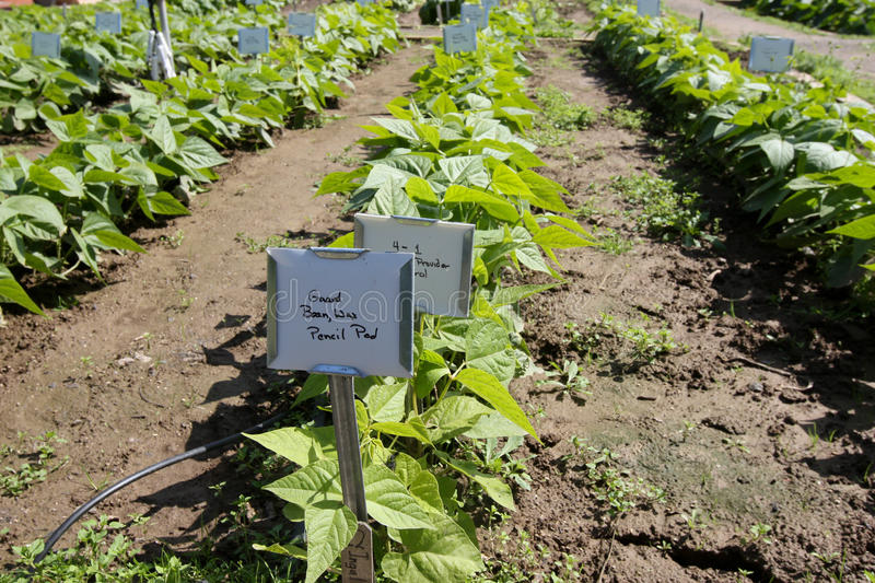 Download Young Bean Plants stock image. Image of garden, bean - 20186411