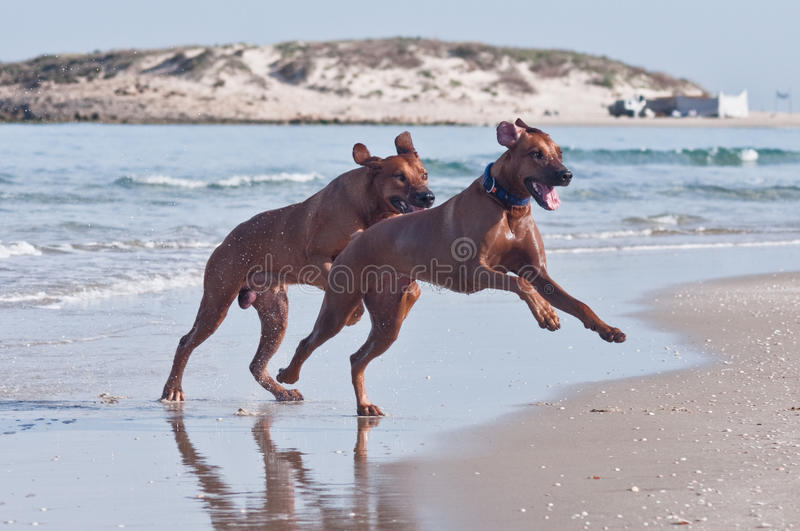 Two running on beach dogs stock photography
