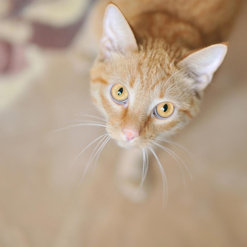 Download Young Beautiful Cat Looking Up Indoors Royalty Free Stock Images - Image: 27519689