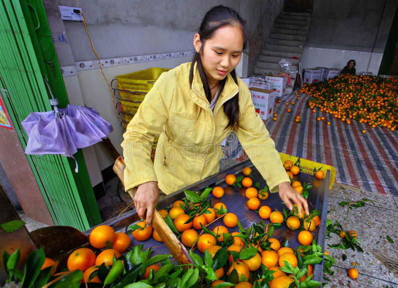 Young, beautiful Chinese woman working on the line sorting oranges stock photos