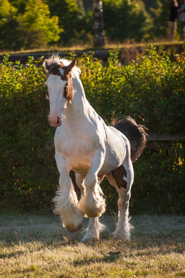 Young beautiful drum horse drumhorse stallion white and red orange with black tail unusual blue  eye playing  freely in the gr stock images