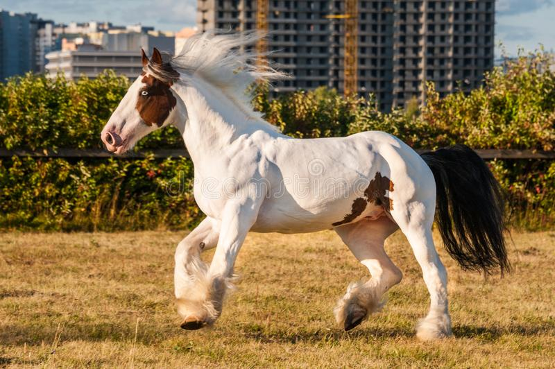 Young beautiful drum horse drumhorse stallion white and red orange with black tail unusual blue  eye playing  freely in the gr royalty free stock image