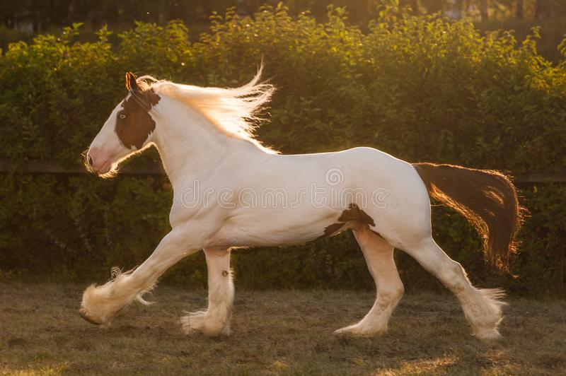 Young beautiful drum horse drumhorse stallion white and red orange with black tail unusual blue  eye playing  freely in the gr royalty free stock images