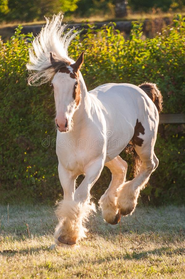 Young beautiful drum horse drumhorse stallion white and red orange with black tail unusual blue  eye playing  freely in the gr royalty free stock photos