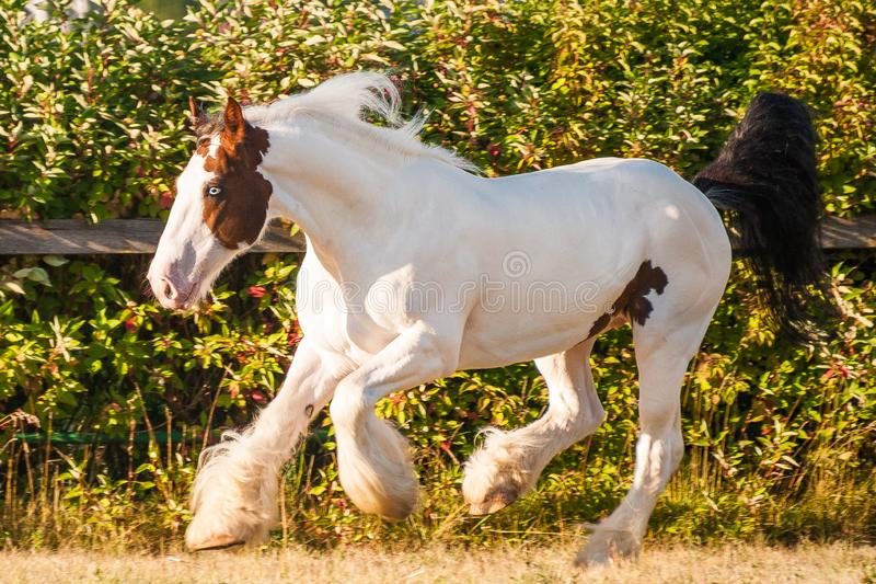 Young beautiful drum horse drumhorse stallion white and red orange with black tail unusual blue  eye playing  freely in the gr royalty free stock photography