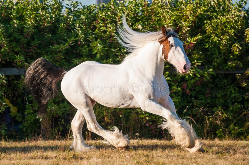 Young beautiful drumhorse stallion running gallopping freely in the green field royalty free stock photos