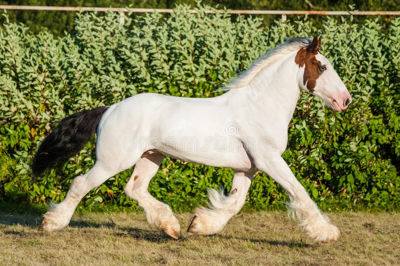 Young beautiful drumhorse stallion running trotting  freely in the green field royalty free stock images