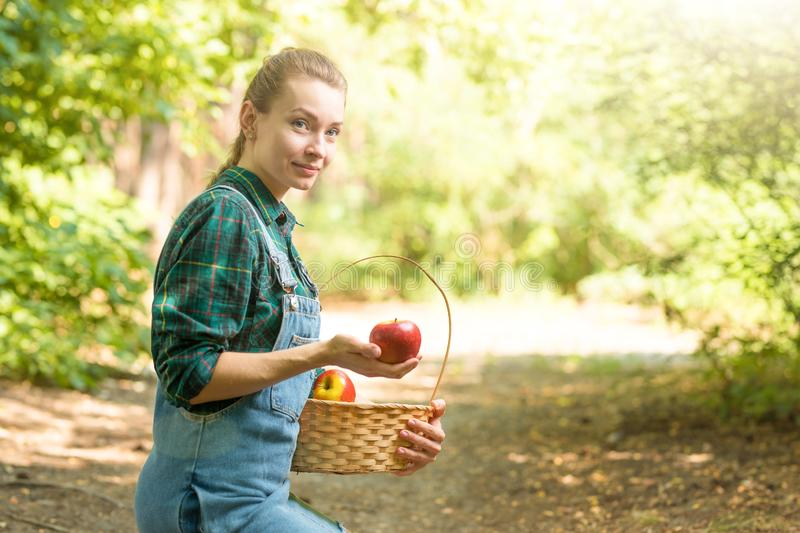 Young beautiful farm girl is harvesting apples. The concept of summer or autumn harvest. With empty space for writing.  stock photo