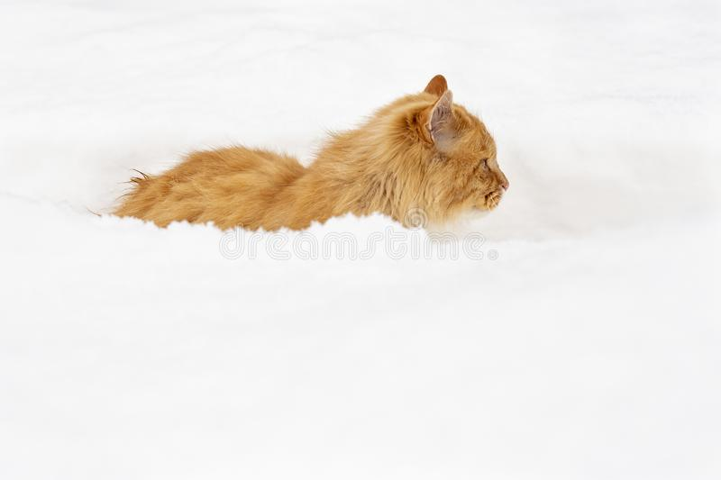 A young, fluffy ginger cat stands motionless in a snowdrift and looks into the distance noticing the prey on a winter frosty day. A young, beautiful, fluffy royalty free stock photography