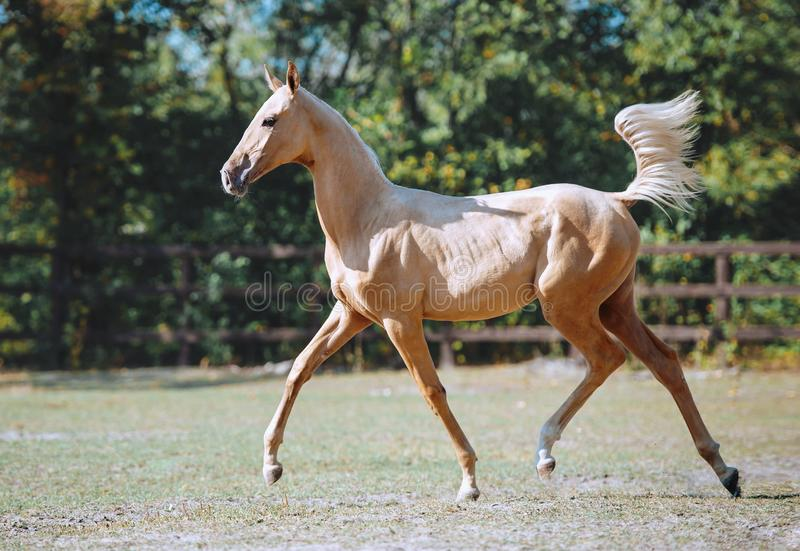 Young beautiful horse of isabella color royalty free stock photos