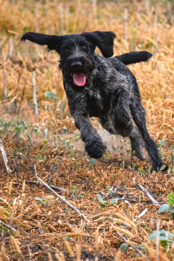 A young, beautiful, liver, black and white ticked German Wirehaired Pointer dog walking on the grass. The Drahthaar has a distinct. A young, beautiful, liver royalty free stock image