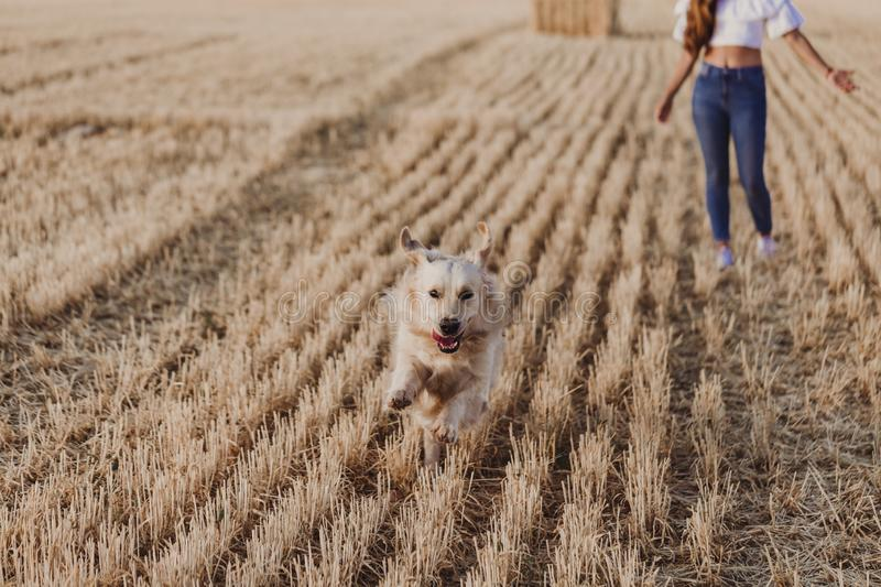 Young beautiful woman walking with her golden retriever dog on a yellow field at sunset. Nature and lifestyle outdoors. Funny dog stock photo