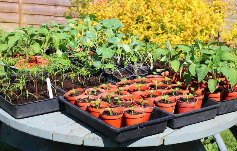 Young bedding plants in boxes ready for planting. royalty free stock images