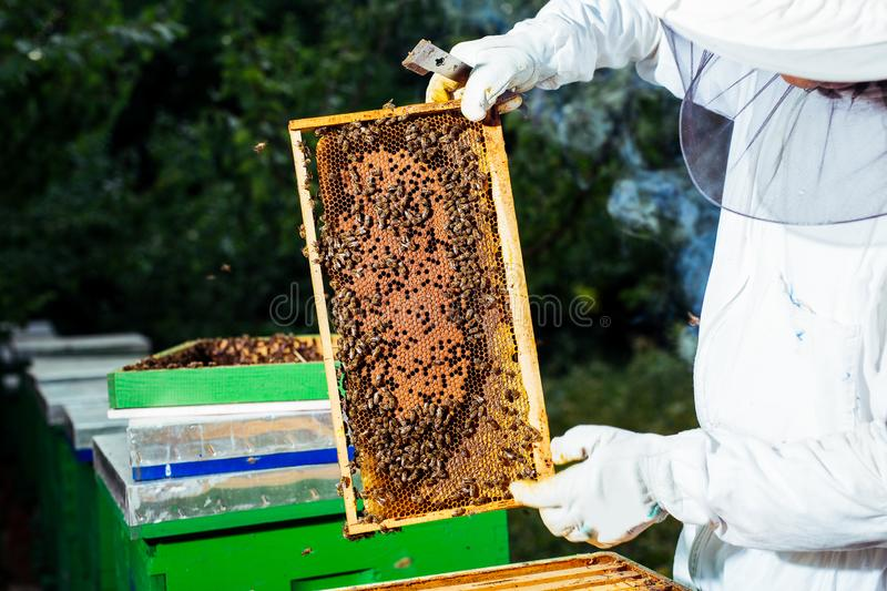 The beekeeper holds a honey cell with bees in his hands. Young  beekeeper holds a honey cell with bees in his hands royalty free stock images