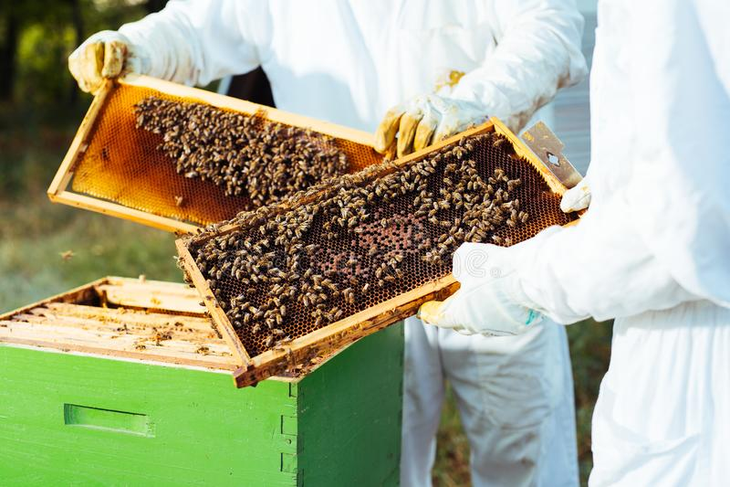 Beekeeper inspecting honeycomb frame at apiary. stock images