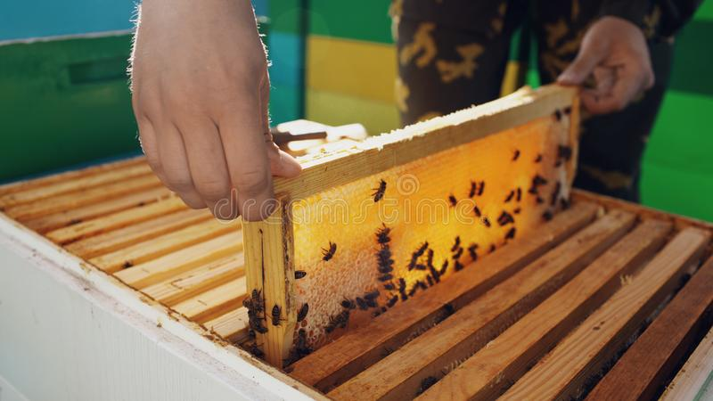Young beekeeper man taking wooden frame with bees for checking while working in apiary stock image