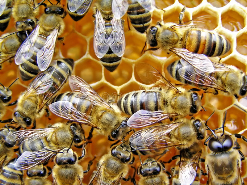 Young bees. royalty free stock photography