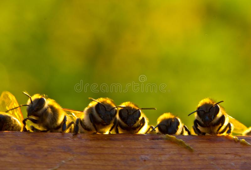 Evening communication of young bees royalty free stock images