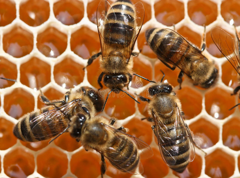 Young bees work royalty free stock photo