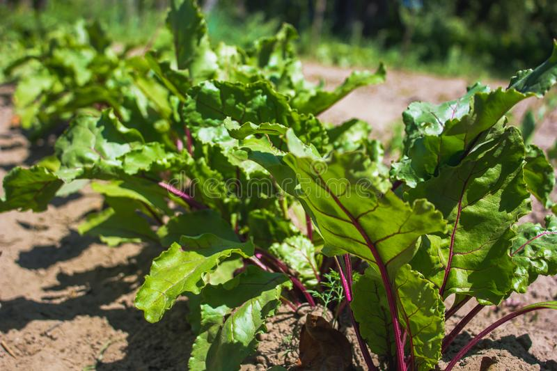 Young beetroot on the bed. Sugar beet in the garden. royalty free stock photography
