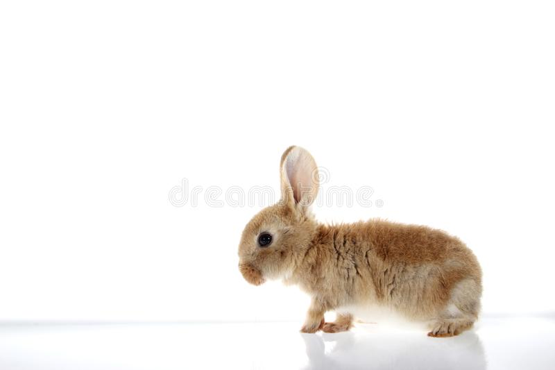 Little bunny rabbit on white background stock photos
