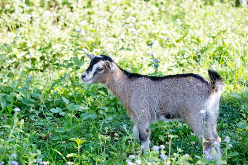 Young beige miniature goat kid, part pygmy in meadow royalty free stock photos